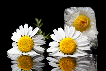 Chamomile frozen in ice cube on a black background   Also close by are common chamomile