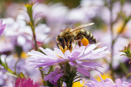 A bee pollinating a flower purple.