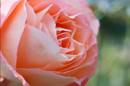 Photo of a beautiful rose. Stock Photo
