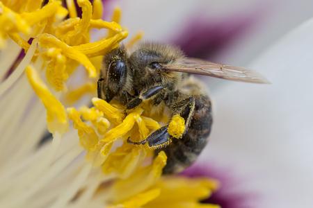 ardent: Un ape raccoglie ardente sui fiori.