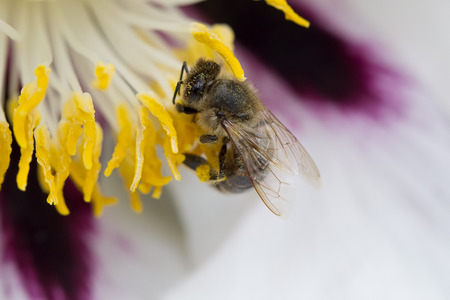 ardent: A bee collects ardent on the flowers.