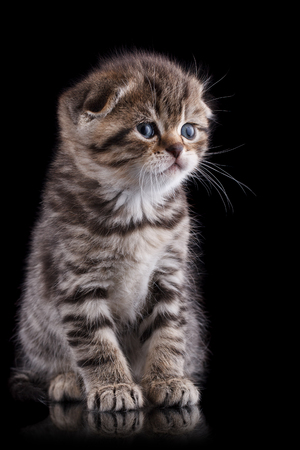 Lop-eared kitten on a magnificent black background.