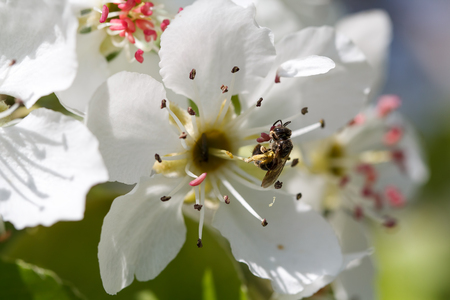 ardent: A bee collects ardent on the white flowers. Stock Photo
