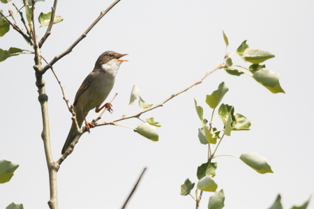Songbird nightingale sits on a tree branch. Stock Photo