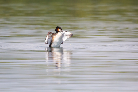 stay beautiful: Beautiful wild duck stay on the water.