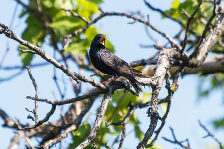 Beautiful picture starling in the spring. Stock Photo