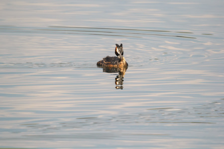 Beautiful wild duck stay on the water.