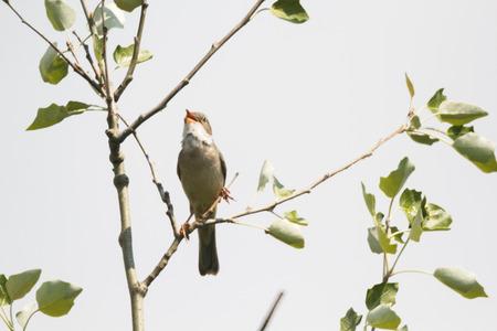 ruiseñor: Nightingale Songbird se sienta en una rama de árbol.