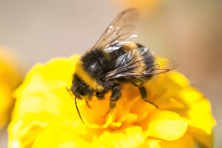 A bee collects ardent on the yellow flowers.