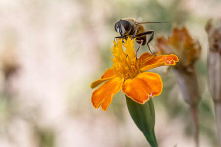 ardent: A bee collects ardent on the yellow flowers.