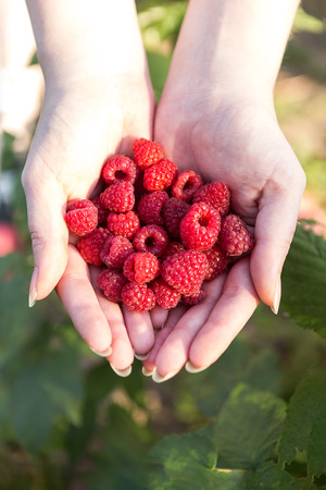 Ripe raspberries in the hands of the outdoors.