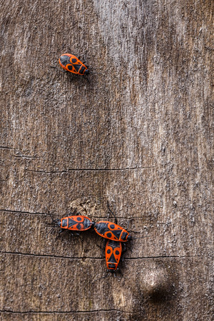 Photo insect bug-soldier outdoor.