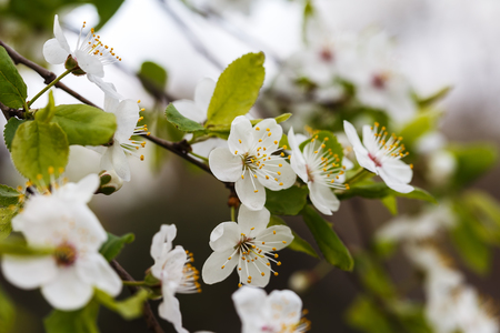 Photo of a beautiful white spring flower.