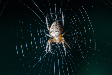 The Crusader spider sits on a beautiful web.