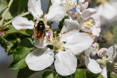 A bee collects ardent on the white flowers. Stock Photo