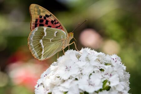 A beautiful butterfly collects nectar on flowers. Фото со стока