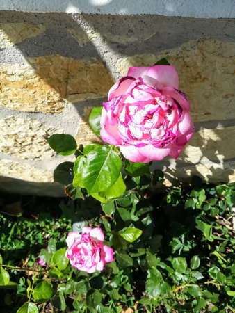 Pink rose flower with yellow center with green leaves