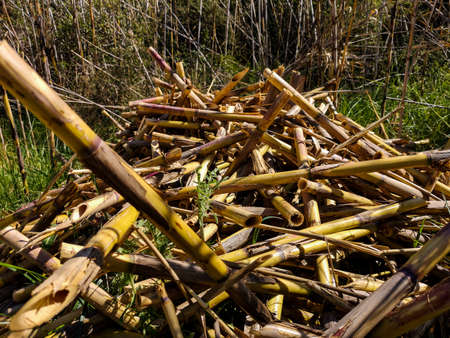 View of cut reeds drying in the sun