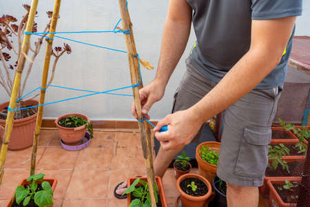 Man arranging his urban garden with his hands and with rods and ropes to direct the plants. Healthy life concept