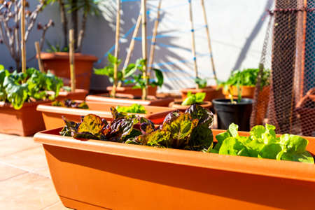 View of a urban vegetable garden planting in plastic planters on the terrace of the house, protected by a net. Concept of healthy living. Selective focus Standard-Bild