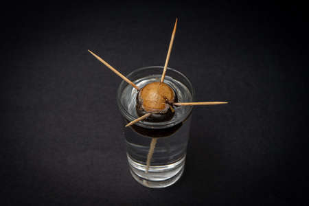 Avocado seed taking root in a glass of water held by four toothpicks. Cultivation concept Stockfoto