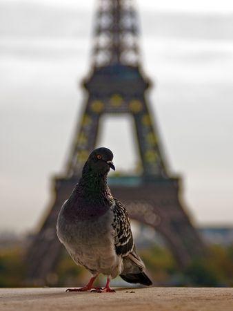 Eiffel Tower &, Pigeon