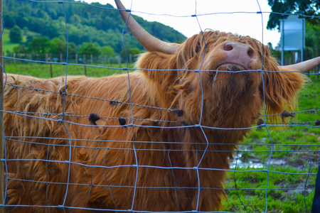 Hamish, the Highland cow, in Kilmahog, Scotland
