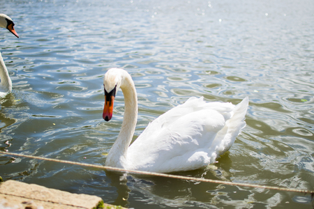 Beautiful white goose swimming in a pool or lake. Elegance. Stock Photo