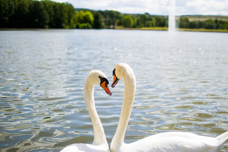 Two beautiful white geese swimming in a lake or pool and doing an heart shape with their heads. Love.