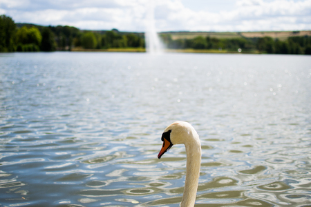 Beautiful white goose swimming in a pool or lake with a fountain at the background. Reklamní fotografie
