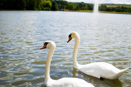 Two beautiful white geese swimming in a lake or pool. Reklamní fotografie