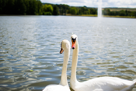 Two beautiful white geese swimming in a lake or pool Reklamní fotografie