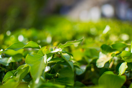 Close up of green leaves with defocused background. Nature in a sunny day.