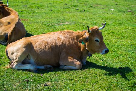 Portrait of a brown cow relaxing on a green meadow in Covadonga Lakes, Asturias, Spain