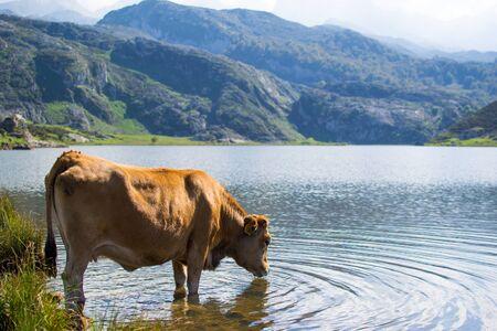 Brown cow drinking water in Enol Lake, Covadonga Lakes, Asturias, Spain