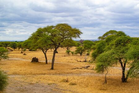 Landscape of the savanna in Tarangire National Park, in Tanzania, with yellow grass and green acacias