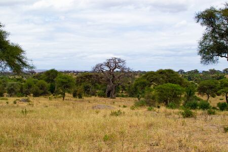 Landscape of the yellow savannah of Tarangire National Park, in Tanzania, with a baobab at the background