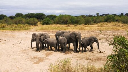Herd of elephants drinking underground water of a dry river in the savanna of Tarangire National Park, Tanzania