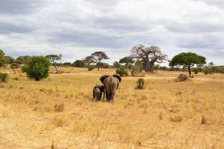 Female elephant taking care of her babies on the savanna of Tarangire National Park, in Tanzania