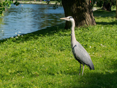 A Grey Heron (Ardea cinerea) waits by the side of a water way on a summer's day in London's Regents Park, UK. 版權商用圖片