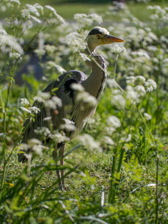 A Grey Heron (Ardea cinerea) waits by the side of a water way on a summer's day in London's Regents Park, UK. Stockfoto