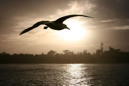 gracefully: Sea gull flying over the ocean at sunset