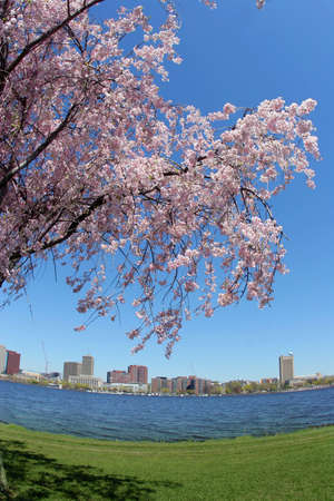 Blooming tree by the Charles river in Boston Stock Photo