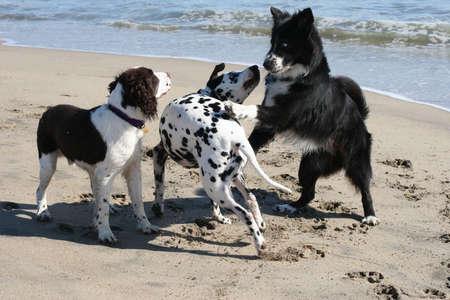 cani che giocano: 3 cani che giocano sulla spiaggia