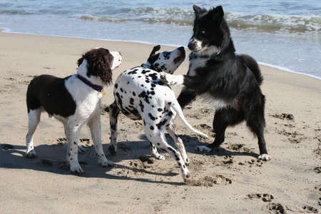 3 dogs playing on the beach photo
