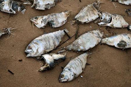 environmental issues: Dead fish on the beach