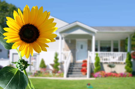 Bright sunflower in front of a country house photo