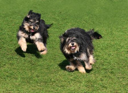 perros graciosos: Dos perros feliz corriendo sobre la hierba
