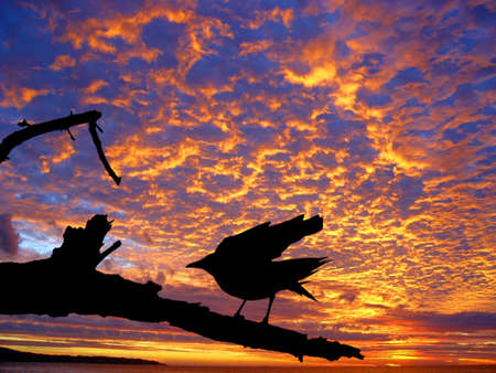 Black crow silhouette against the beautiful sunset over the ocean Stock Photo - 347523