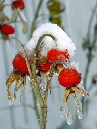 wild  rose: Bacche di rose selvatiche coperto con neve e icicles